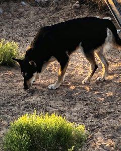 Carolina Dog sniffing the dirt