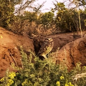 Burrowing desert owl