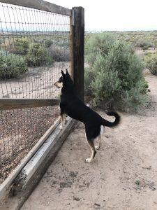 Carolina Dog at gate