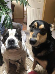 American Bully and Carolina Dog